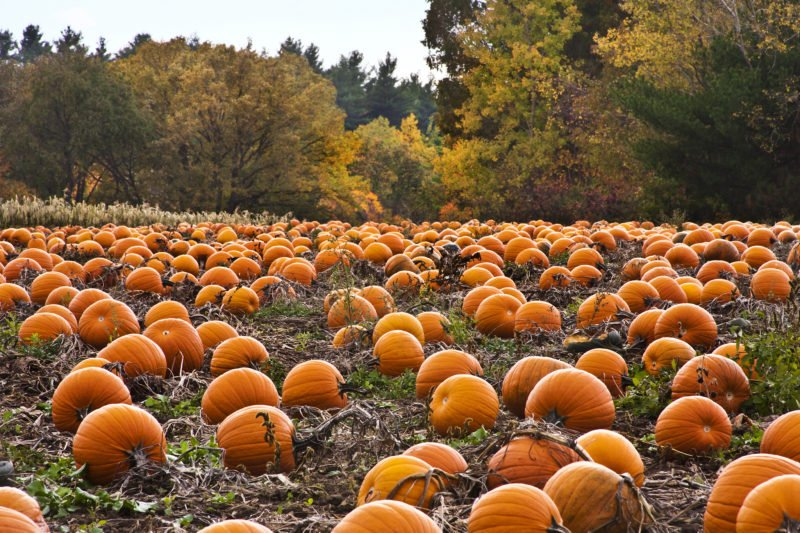 pumpkins-at-patch